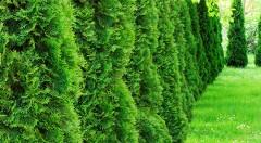 Zľava 50%: Podeľte sa o vašu záhradu s nenáročnou okrasnou tujou smaragdovou len za 1,99 €. Radosť vám bude robiť svojím rastom až 50 cm za rok aj vždy veľmi hustým a tmavozeleným ihličím.